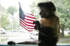 Happy Memorial Day from the service animals at Helping Hands: Monkey Helpers for the Disabled Adaptive Sports, Spinal Cord Injury, Happy Memorial Day, Helping Hands, Disability, Monkey, Quadriplegic, Abs