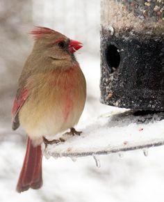 female cardinal - she's lovely
