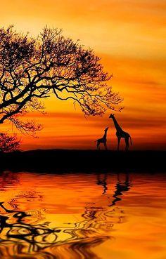 Silhouette ∞∞∞∞∞∞∞∞∞∞∞∞∞∞∞∞∞∞∞∞∞∞∞∞∞∞∞∞ Giraffes ∞∞∞∞∞∞∞∞∞∞∞∞∞∞∞∞∞∞∞∞∞∞∞∞∞∞∞∞ Golden Nature ~ 'Wild ' Dawn' by Martin Wait. Beautiful Sunset, Beautiful World, Beautiful Creatures, Animals Beautiful, Foto Poster, Art Africain, Amazing Nature, Belle Photo, Nature Photos