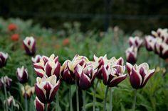 Tulips galore at Powerscourt Gardens, Ireland www.powerscourt.ie