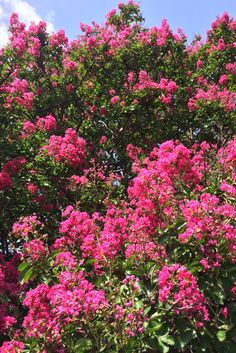 crape myrtle tree ' dallas red' (lagerstroemia indicia 'dallas red') - ornamental tree with bright pink blooms, deciduous