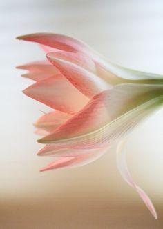 stars in my dreams Amaryllis by beegardener. Flowers Nature, My Flower, Pink Flowers, Beautiful Flowers, Amarillis, Bouquet, No Rain, Love Garden, Cactus Y Suculentas