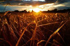 Field Sunrise