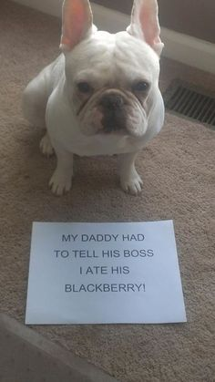"""My daddy had to tell his boss I ate his Blackberry."" ~ Dog Shaming shame - French Bull Dog"