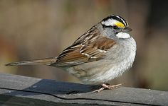 White Throated Sparrow: Once you start really bird watching you realize how amazing sparrows are. There are so many  varieties and they are beautiful. We often take this bird for granted. Next time you see one really look at it.