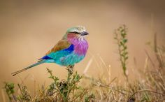 Flying Rainbow by Jeffrey C. Sink -- East Africa's ubiquitous Lilac Breasted Roller