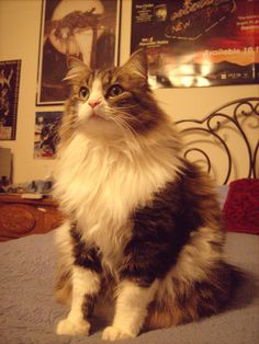 This is my beautiful Maine Coon / Calico mix, Arnold Wayne.