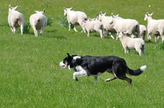 A single Border Collie can guide a herd of about 400 sheep or goats. Herding Dogs, Maltese Dogs, Doberman Pinscher, Dog Names, Shelter Dogs, German Shepherd Dogs, Happy Dogs, Dog Breeds, Cute Dogs