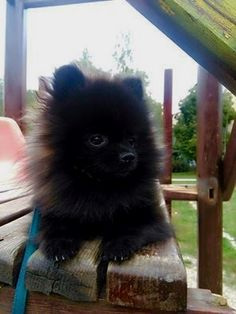 Marvelous Pomeranian Does Your Dog Measure Up and Does It Matter Characteristics. All About Pomeranian Does Your Dog Measure Up and Does It Matter Characteristics. Spitz Pomeranian, Black Pomeranian, Cute Pomeranian, Pomeranians, Pomeranian Haircut, Chihuahuas, Cute Puppies, Cute Dogs, Dogs And Puppies
