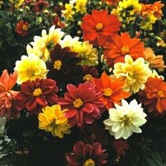 Pase Seeds - Dahlia Figaro Series Mix Annual Seeds, $3.49 (http://www.paseseeds.com/dahlia-figaro-series-mix-annual-seeds/)