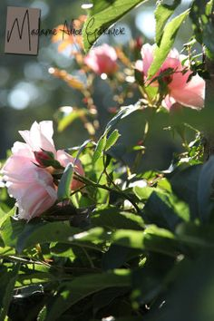 """""""M"""" is for the Madame Alice Garnier rose..."""