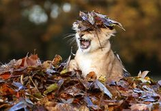 Lion Cub Loves Playing With Autumn Leaves : Bored Panda
