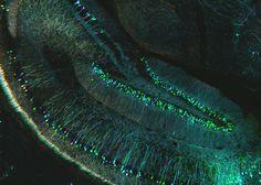 Confocal microscopy of mouse brain (ZEISS Microscopy) Tags: zeiss mouse illumination brain palm fluorescence cortex neuron neuroscience microscopy confocal structured elyra superresolution srsim Science Of The Mind, Science Art, Science And Technology, Science Nature, Confocal Microscopy, Brain Art, Medical Art, Neurons, Microbiology