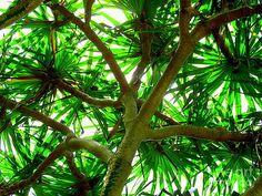 pandanus tree Plant Leaves, Trees, Australia, Plants, Painting, Art, Scenery, Art Background, Tree Structure