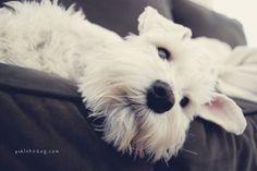 Yuki by Melissa Heard #Miniature #Schnauzer
