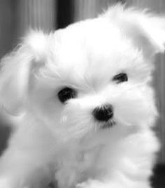 Cute thing! #puppylove #dogs #whitepup #cuteanimals #maltese