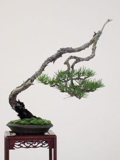 Black Pine Bonsai, Literati style (Bunjingi).