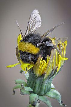 A Bumblebee ~ Inside A Dandelion.