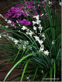 St Bernard's Lily - Anthericum. Always in bloom in Florida Gardens