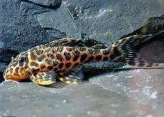Peruvian Panther Pleco Beautiful Fish, Animals Beautiful, Pleco Fish, Plecostomus, Cool Fish, Freshwater Aquarium Fish, Cichlids, Catfish, Tropical Fish