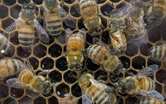 Bees have evolved to be city dwellers and prefer urban areas to countryside (in a study found by The Telegraph) and don't we just know it! Ours are doing really well this year and we've just had to order more frames as they are making so much honey :)