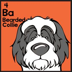 The 4th elemutt of The Dog Table is Bearded Collie. The Dog Table Poster features illustrations of 186 dog breeds. Dogs are organized in a similar layout and structure to the Periodic Table.  #dogsoffacebook #BeardedCollie  BUY THE DOG TABLE POSTER  http://thedogtable.com