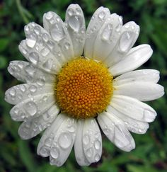 German Chamomile - Great to keep in your home as tea and EO. Soothing and healing.