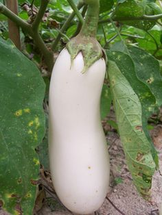 'White Beauty' Eggplant Exotic Fruit, Tropical Fruits, Vegetable Farming, Vegetable Garden, Fresh Fruits And Vegetables, Fruit And Veg, Seed Packaging, Bush Beans, Growing Gardens