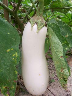 White Beauty Eggplant 2013 seeds