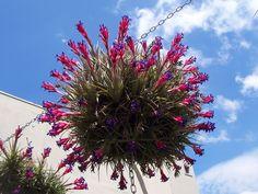 Tillandsia Aeranthos | Tillandsia aeranthos , un esemplare di oltre vent'anni