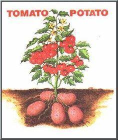 La tomate et la pomme de terre sont deux plantes de la même famille, les Solanacées, qui toutes deux produisent des fruits, des baies de différentes grosseurs suivant les espèces ou variétés. La tomate, Solanum lycopersicum. La pomme de terre, Solanum tuberosum. Inutile que je vous parle des baies de la tomate, tout le monde …