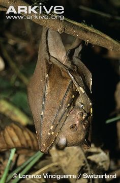 Philippine tube-nosed fruit bat (Nyctimene rabori)