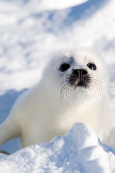 This beautiful baby seal may be of thousands each . - - Marcos - This beautiful baby seal may be of thousands each . - This beautiful baby seal may be of thousands each . The Animals, Cute Baby Animals, Funny Animals, Cute Creatures, Beautiful Creatures, Animals Beautiful, Foca Animal, Cute Seals, Baby Seal