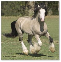 Welcome to Villa Vanners and this is one of their primo stallions named Taskin. http://www.villavanners.com/Stallion_Taskin.htm