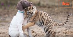 This awesome video of a baby tiger who found an unusual friendship with an adorable German Shorthaired Pointer puppy is living proof that love and friendship have no boundaries! When his mom abandoned him, this baby tiger named Hunter found a friend in Chelsea the German Shorthaired pointer puppy. Watch the video and see the unusual friendship of a baby …