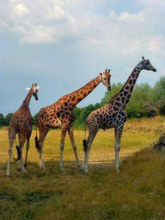 trio de girafes