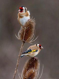 El Jilguero, uno de los pájaros de canto, que mas me gustan.