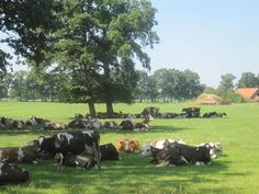 Lintelo Aalten koeien in de wei bij de Slinge