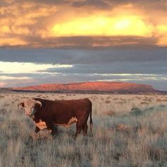 Herford cattle Cattle Farming, Livestock, Beef Cattle, Cattle Dogs, Hereford Cattle, Raising Cattle, Mountain Dogs, Bernese Mountain, Longhorn Cow
