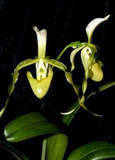 Paphiopedilum dianthum Orchi,  Exhibit. Deutsche Orchideen Gesellschaft Neu Ulm