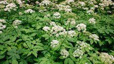 Healing Herbs, Dna, Detox, Flora, Healthy, Plants, Recipes, Beautiful, Parsley