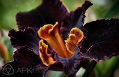 rare black plant | macro close-up of a black California native iris flower in profile