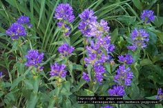 """Campanula glomerata Superba""""Clustered Bellflower"""" Perennial,Sun,20-24 in.Divide every 2-3 years to control mass"""
