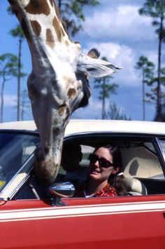 Lion Country Safari Park in West Palm Beach, Florida 1971