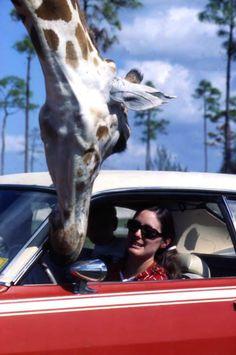 Lion Country Safari Park in West Palm Beach, Florida 1971