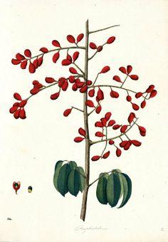 Omphalobium. Proyecto de digitalización de los dibujos de la Real Expedición Botánica del Nuevo Reino de Granada (1783-1816), dirigida por José Celestino Mutis: www.rjb.csic.es/icones/mutis. Real Jardín Botánico-CSIC.
