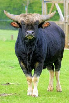 Gayal (Bos frontalis), also known as mithun, is a large semi-domesticated bovine distributed in Northeast India, Bangladesh, northern Burma and in Yunnan, China.