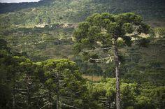 Árvores de pinhão