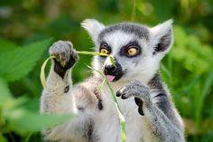 New free stock photo of animal cute wildlife via Pexels https://www.pexels.com/photo/white-and-gray-lemur-holding-grass-147939/