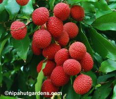 fruits tree - Google Search